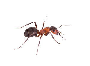A Pavement Ant. Ant Control by Van Den Berge Pest Control