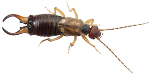 An earwig. Earwig control often includes removing plant debris.