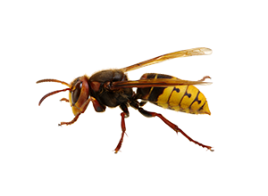 A European style wasp. Wasp exterminator services are more severe than other Van Den Berge Pest Control services.