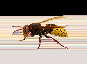 European_Wasp_151779421