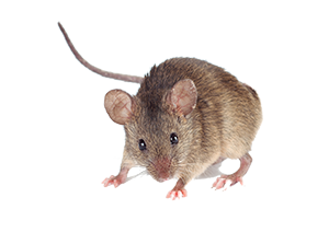 A field mouse, which may need to be removed with mice control by Van Den Berge Pest Control