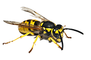 A traditional yellowjacket. Wasp exterminator services are more severe than other Van Den Berge Pest Control services.