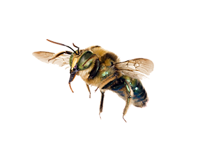 A carpenter bee. Bee removal is important even if the insects don't sting.