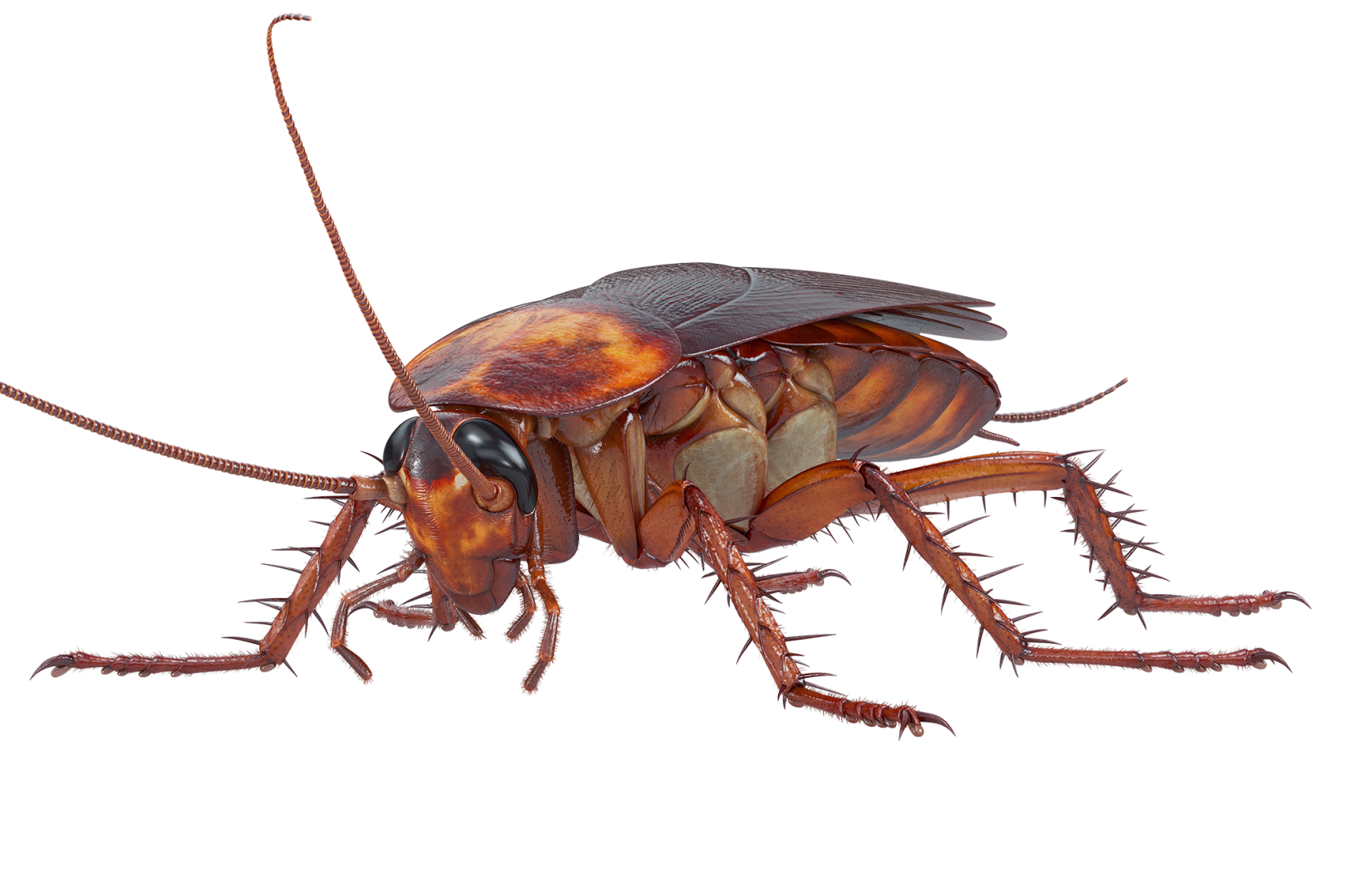 A standard cockroach. Roach control issues are a leading pest problem.
