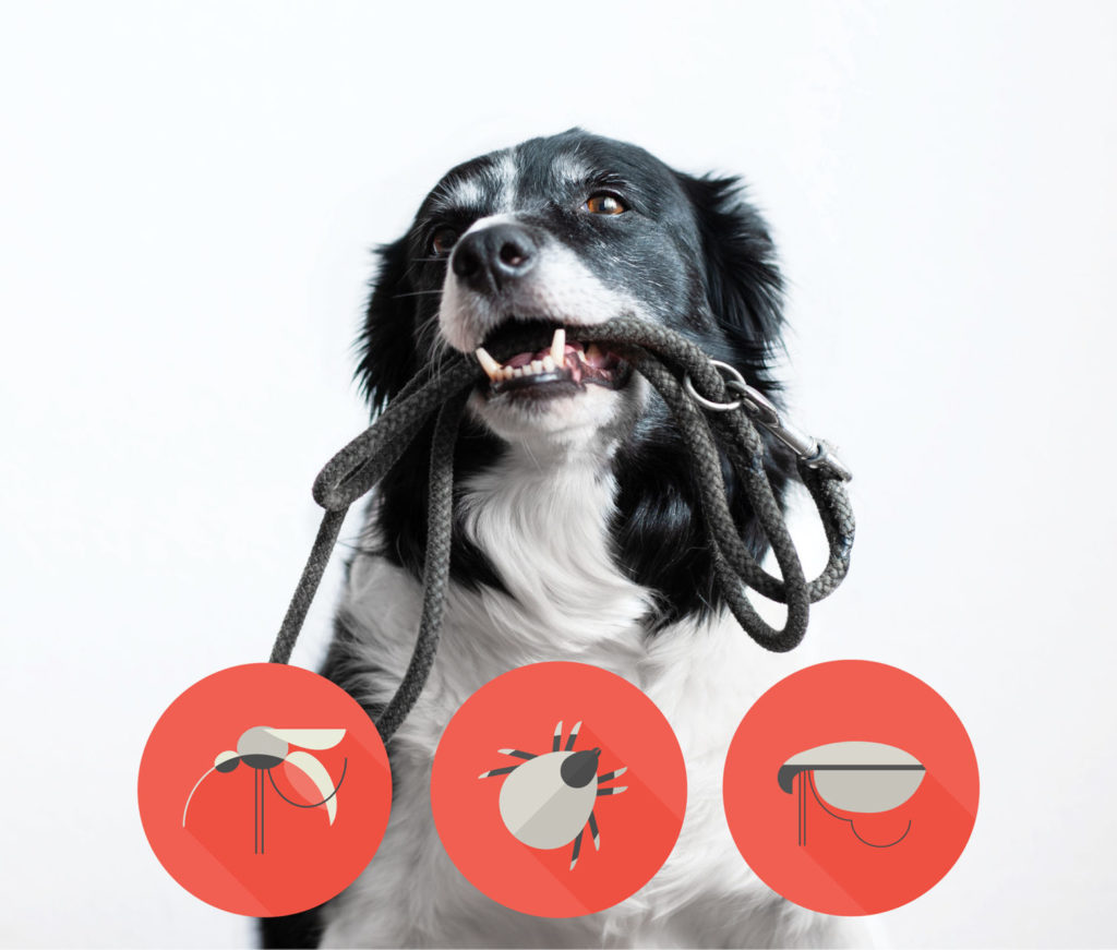 Prevent fleas from entering your home on pets. A dog with a leash in its mouth