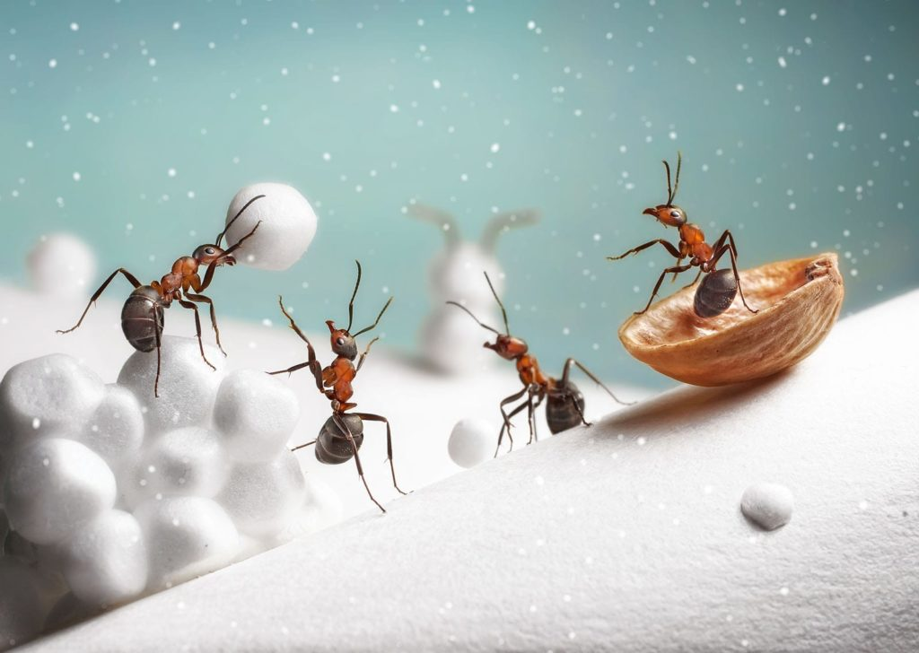 Ants throwing snowballs. Winter insects are very different from your average summer pests.