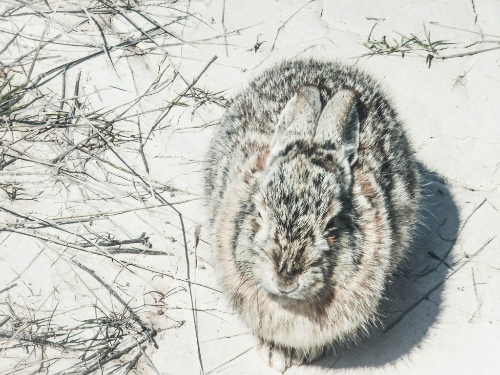 One of many rabbits in the winter environment.