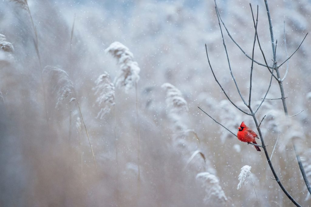 The northern cardinal is one of the few winter birds in Michigan not to migrate south.