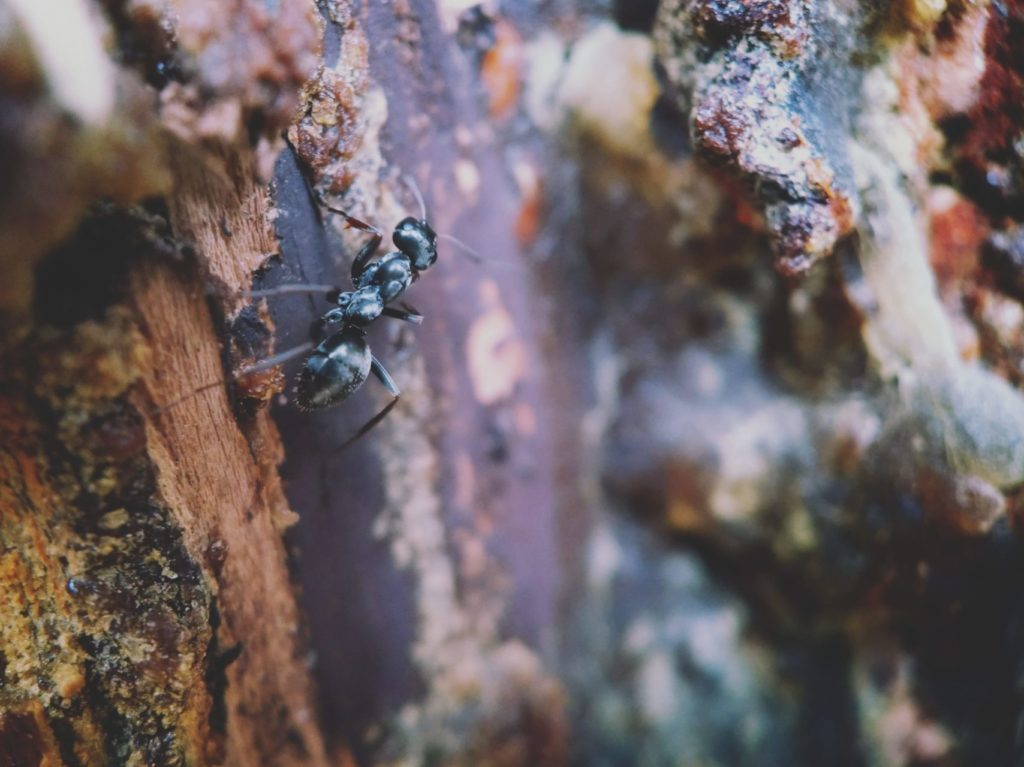 Carpenter ants on a tree may seek refuge in your home during warmer seasons with when seeking moisture.