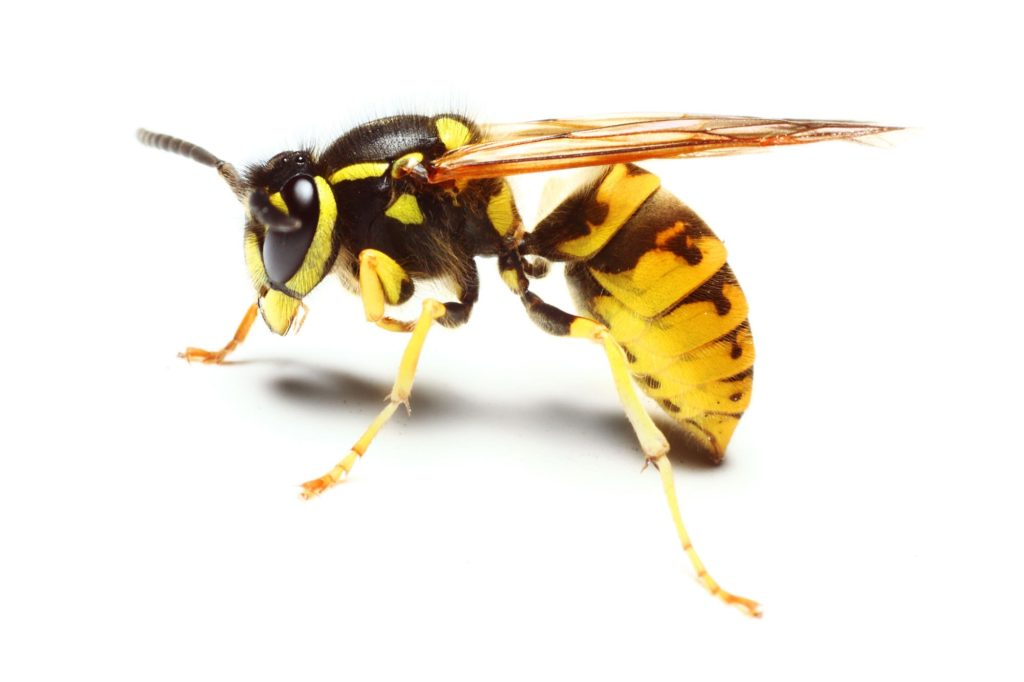 What is a yellow jacket? Not quite a wasp and not quite a bee.