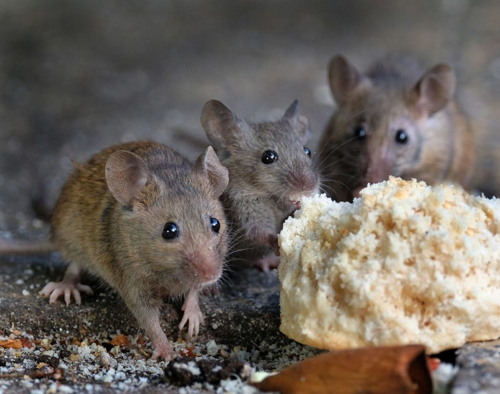 Indoor mouse problems are many, but time is of the essence. Three mice eating bread.