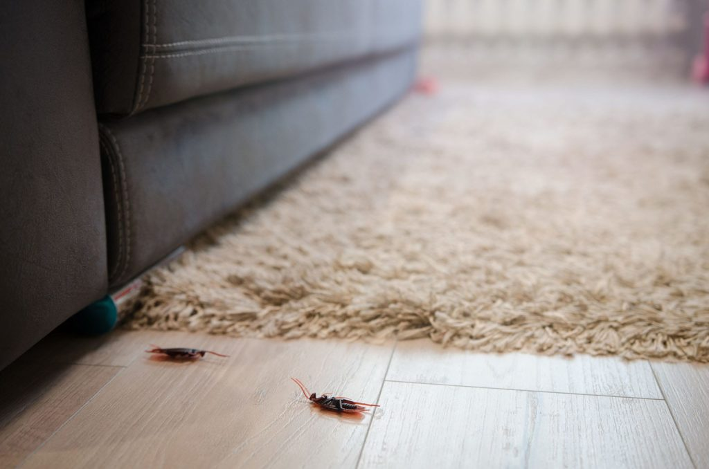 How do cockroaches get in your house? Many ways. Two dead roaches lay next to a living room carpet.