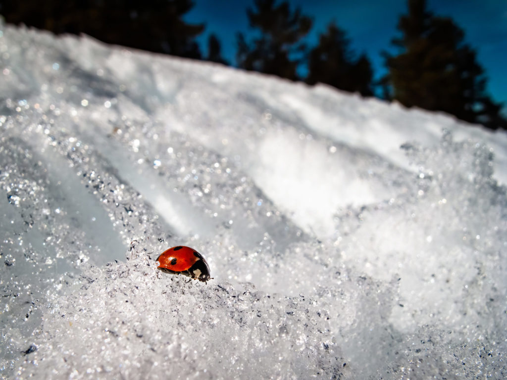 A ladybug in the snow. If heat attracts more pests, then why do you need pest control in winter?