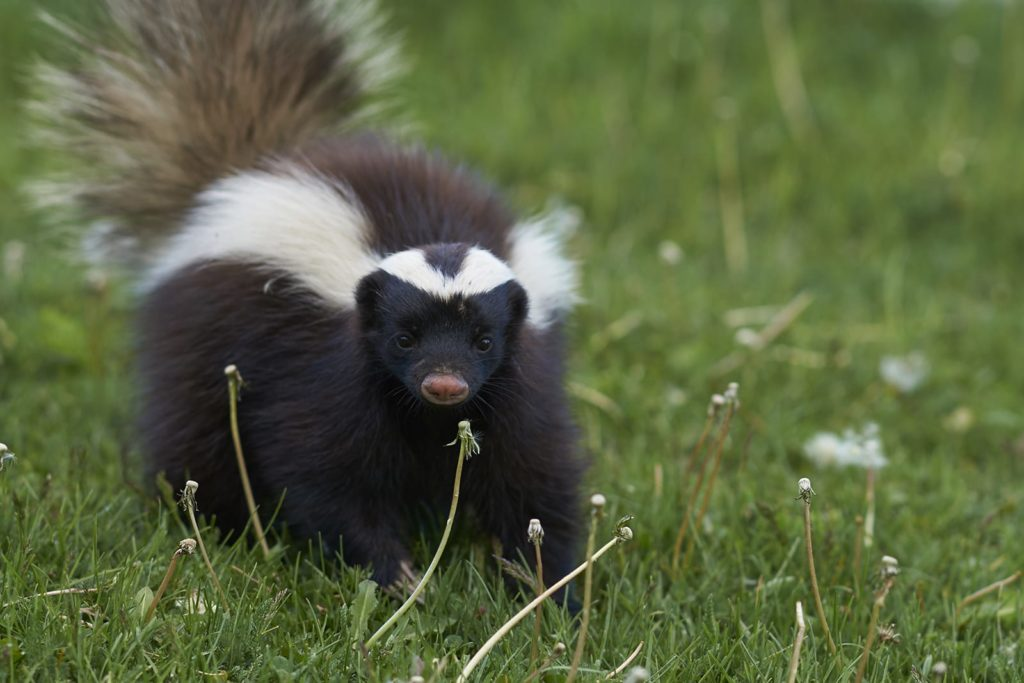 With two white streaks, skunks can be alarming. Learn how to deal with a skunk when you spot it in the open.