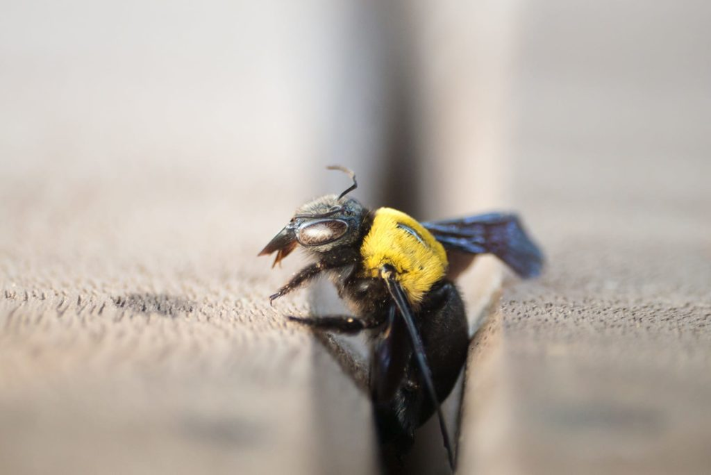 A carpenter bee crawling between two wood planks. The main distinction between carpenter bees vs bumblebees? Carpenter bees are territorial and burrow into wood.