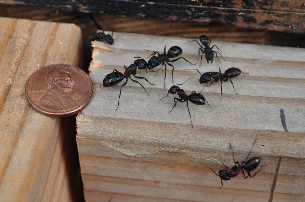 Do I have a carpenter ant problem? If you see one carpenter ant in your house (or on the floor next to a penny as in the photo), your problems are just starting.