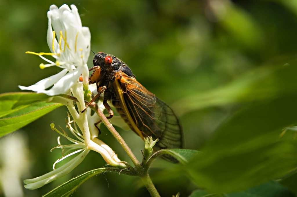 The cicada life cycle is one of the stranger ones in the world.