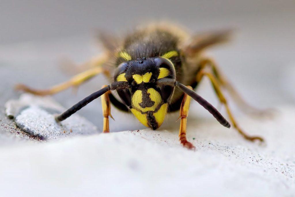 A sand wasp, closeup